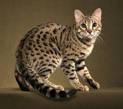Gato-bengal