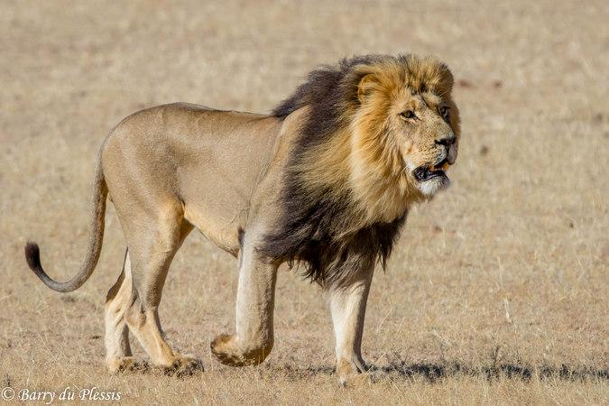 African Lion | GavenLovesAnimals2004 Wiki | FANDOM powered