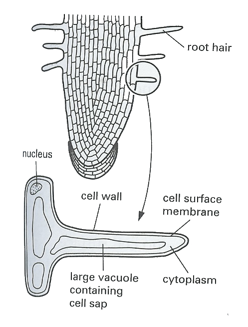 Hair Root Cell