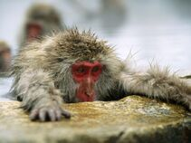 http://geishaworld.wikia.com/wiki/File:Macaque