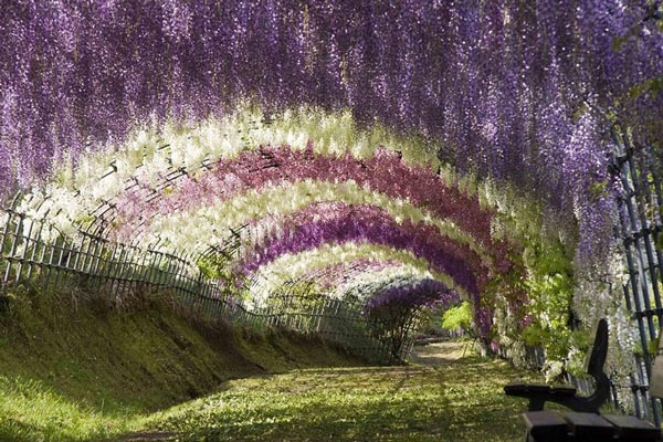 Wisteria Tunnel Japan Travel Nature Landscapes Photography