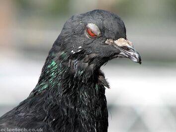 2006-09pigeon