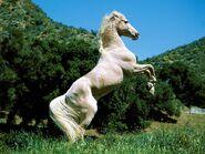 White horse-4599