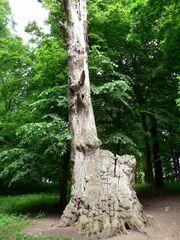 Lithuania Raudone Gediminas Oak