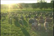 Laubach sheep
