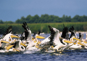 Pelicani din Delta Dunarii