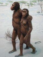 Lucy Australopithecus Laetoliafar