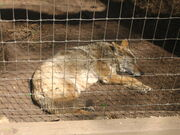 Sleeping coyote in Amarillo Zoo IMG 0166