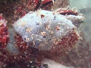 Black sea fauna blue sponge