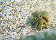 Black sea fauna hermit crab 01