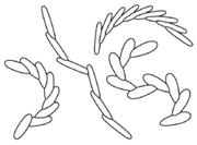 Treptichnus pedum.png