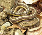 220px-Thamnophis sirtalis sirtalis Wooster