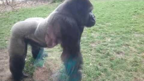 FULL VERSION When a Silverback attacks.