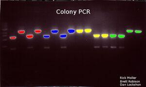 Colonypcr2