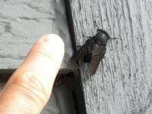 Big-ass-fly