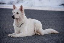 White swiss shepherd dog 03