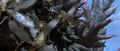 Godzilla vs. Megaguirus - Godzilla has his dorsal plates swarmed