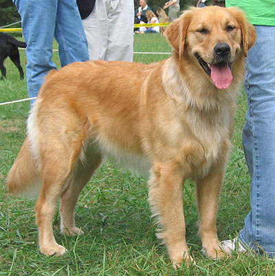 File:Golden retriever.jpg