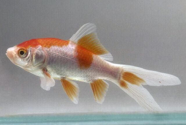 File:Goldfish comet.jpg