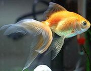 Fantail-Goldfish-Pictures