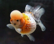 Crown-pearlscale-goldfish-2