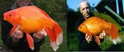 Giant-Goldfish