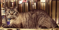 Tabby-cat.png