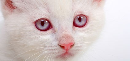 Image result for albino cat