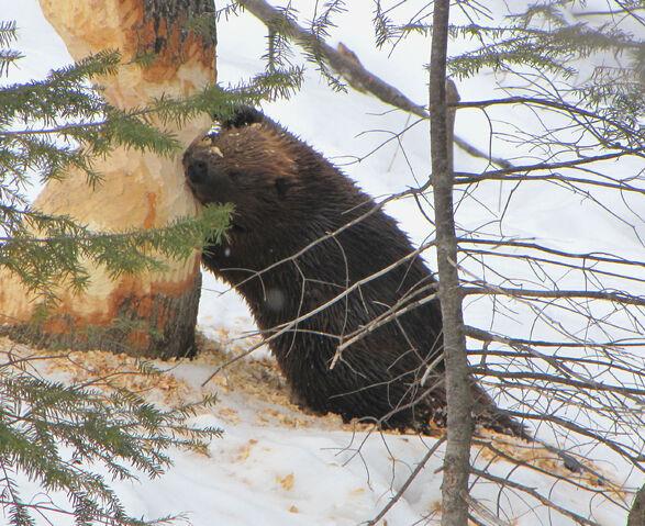 File:American beaver.jpg