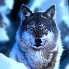 Frostfangs Wolf