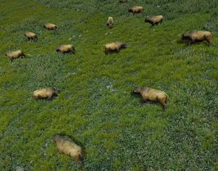 Stado bizonów