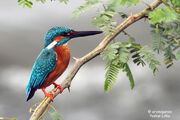 King fisher 1