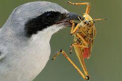 Bird Eating Grasshopper