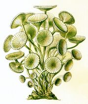 Haeckel Siphoneae Acetabularia mediterranea