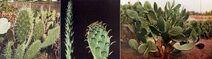 Burbank cactus transformation