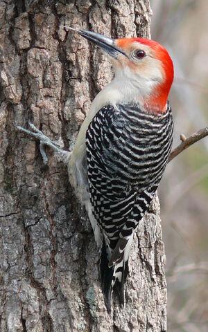 Red-bellied Woodpecker-27527
