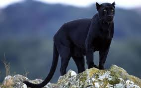 Images Panther