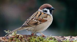 Sparrow-sitting-on-wood