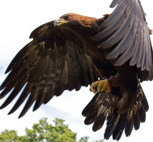 640px-Golden Eagle in flight - 5