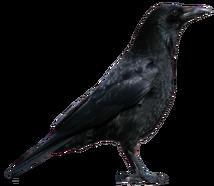 Crow PNG3103
