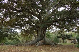Fig-tree1