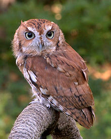 220px-EasternScreechOwl-Rufous