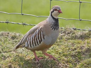 Partridge, Red-legged JeremyAtkinson
