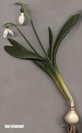 170px-Snowdrop Galanthus elwesii