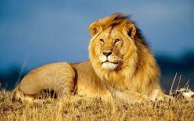 Images lion