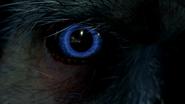 Raub-Kondor Auge