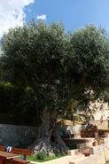Oratorio della Madonna Piè di Poggio Scarlino olivo