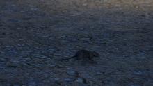 Rat GTAV Dignity Village