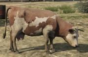 Cow-GTAV-brown&white