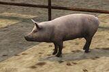 Świnia (V)